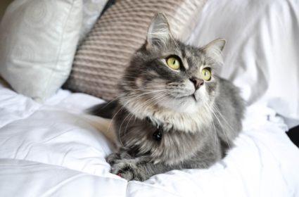 Dlhá srsť mačiek – krása, ale aj záväzok